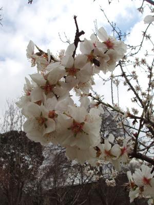 Florecen los almendros en Madrid