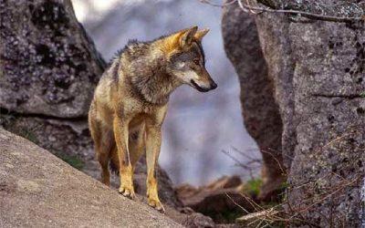 Los lobos de Madrid